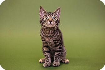 Domestic Shorthair Kitten for adoption in Tallahassee, Florida - Rocky