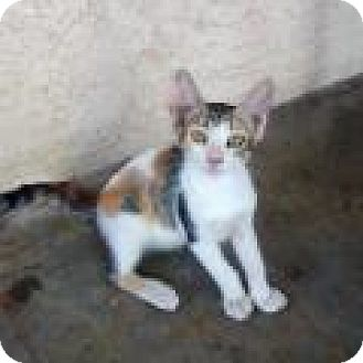 Domestic Shorthair Kitten for adoption in Mission Viejo, California - Dyani