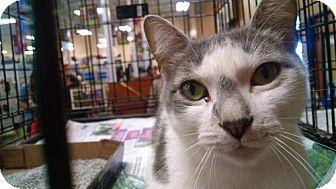 Domestic Shorthair Cat for adoption in Pembroke, Georgia - *Cookie