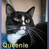 Domestic Shorthair Cat for adoption in Aldie, Virginia - Queenie