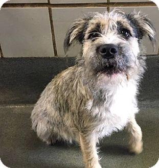 Schnauzer (Miniature) Mix Dog for adoption in Portland, Oregon - Millie