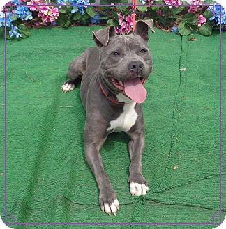 Pit Bull Terrier/American Pit Bull Terrier Mix Dog for adoption in Marietta, Georgia - STARR see also RAMBO