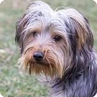 Yorkie, Yorkshire Terrier Dog for adoption in Pardeeville, Wisconsin - Chief