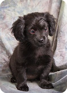 Affenpinscher/Poodle (Toy or Tea Cup) Mix Puppy for adoption in Anna, Illinois - LUKE