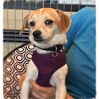 Adopt A Pet :: Reeses Pieces - Los Alamitos, CA