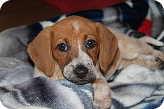 Beagle/Dachshund Mix Puppy for adoption in Naperville, Illinois - Jackie