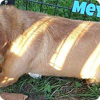 Adopt A Pet :: Meyer - WESTMINSTER, MD