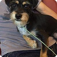 Adopt A Pet :: Raco - Redondo Beach, CA