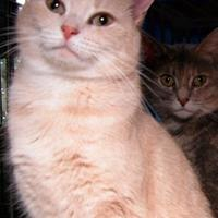 Adopt A Pet :: Butterscotch - Salem, OH