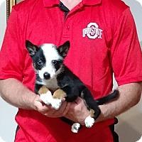 Adopt A Pet :: Ozzy - South Euclid, OH