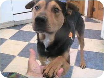 Doberman Pinscher/Australian Shepherd Mix Dog for adoption in Forest Hills, New York - Bobby