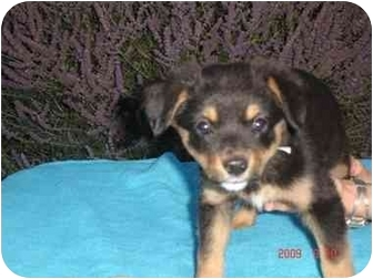 Shepherd (Unknown Type) Mix Puppy for adoption in Broomfield, Colorado - FROSTED FLAKES