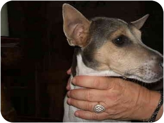 Jack Russell Terrier/Rat Terrier Mix Dog for adoption in SCOTTSDALE, Arizona - Princess