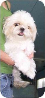 Shih Tzu Puppy for adoption in Huntingdon, Quebec - Munchkin