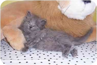Maine Coon Kitten for adoption in Taylor Mill, Kentucky - Bentley