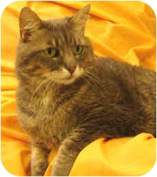 Domestic Shorthair Cat for adoption in Columbia, Illinois - Whiskey