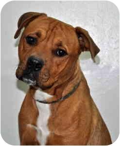 Pit Bull Terrier Dog for adoption in Port Washington, New York - Oscar