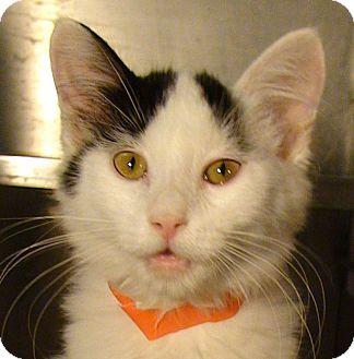 Domestic Mediumhair Kitten for adoption in El Cajon, California - Samson