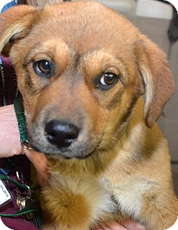 Shepherd (Unknown Type)/Great Pyrenees Mix Puppy for adoption in Knoxville, Tennessee - Winnie