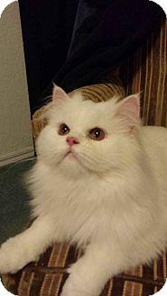 Persian Cat for adoption in Edmond, Oklahoma - Percy