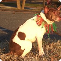 Adopt A Pet :: Gentle little princess Bambi - Baltimore, MD