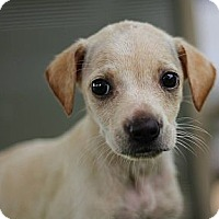 Adopt A Pet :: Isabelle - South Jersey, NJ