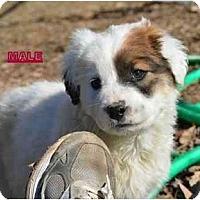 Adopt A Pet :: Barley - New Boston, NH
