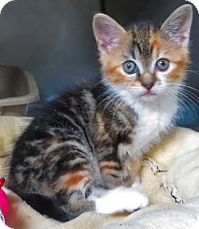 Calico Kitten for adoption in Middletown, New York - Serena