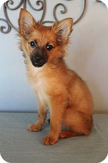 Pomeranian/Chihuahua Mix Puppy for adoption in Wytheville, Virginia - Rafiki