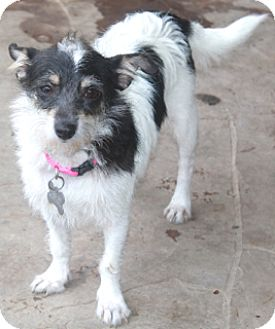 Terrier (Unknown Type, Small) Mix Dog for adoption in Norwalk, Connecticut - Bubbles-MEET HER!!