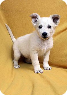 Retriever (Unknown Type)/Spaniel (Unknown Type) Mix Puppy for adoption in Westminster, Colorado - Eva