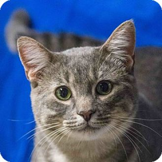 Domestic Shorthair Cat for adoption in Calgary, Alberta - Billy