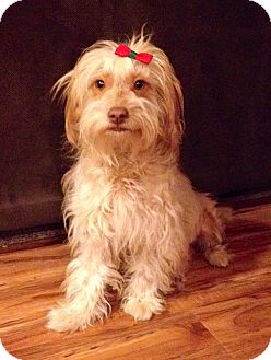 Havanese/Maltese Mix Dog for adoption in Irvine, California - Pinky Pie
