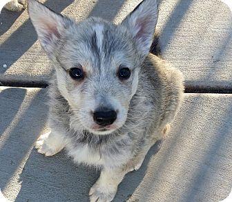 Siberian Husky/German Shepherd Dog Mix Puppy for adoption in Apple valley, California - Artie