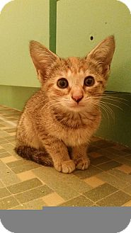 Domestic Shorthair Kitten for adoption in Tampa, Florida - Marina