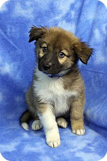 Australian Shepherd Mix Puppy for adoption in Westminster, Colorado - Teodoro