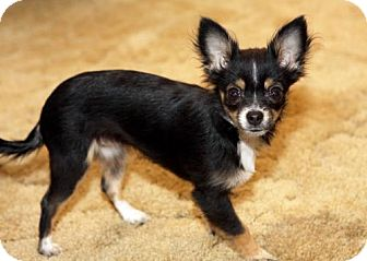 Toy Poodle/Chihuahua Mix Dog for adoption in Walnut Creek, California - Sweet Pea