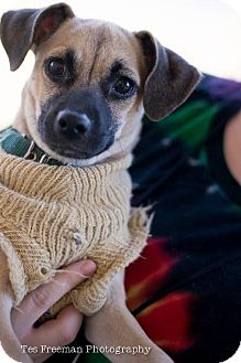 Chihuahua/Pug Mix Dog for adoption in Muldrow, Oklahoma - Bentley