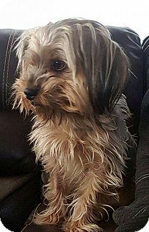 Yorkie, Yorkshire Terrier Mix Dog for adoption in Manhattan, Kansas - Felix