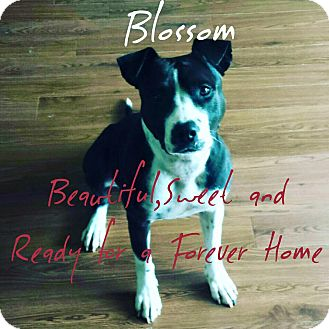 Pit Bull Terrier Mix Dog for adoption in Mary Esther, Florida - Blossom