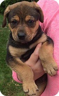 Labrador Retriever/Husky Mix Puppy for adoption in Zanesville, Ohio - Daisy
