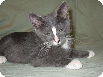 Domestic Mediumhair Kitten for adoption in Tallahassee, Florida - Adam