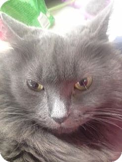 Domestic Longhair Cat for adoption in Columbus, Ohio - April