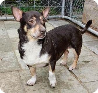 Chihuahua Mix Dog for adoption in Midlothian, Virginia - Kenzie - Chihuahua Mix