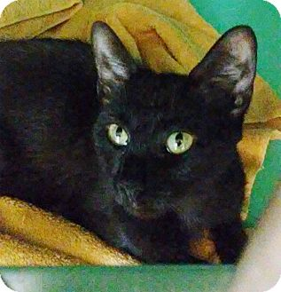 Domestic Shorthair Cat for adoption in Franklin, New Hampshire - Minnie