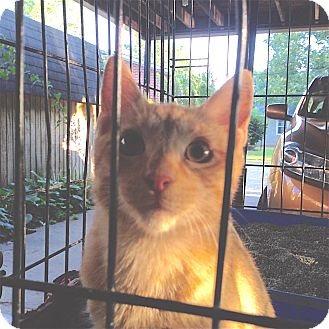 Domestic Shorthair Kitten for adoption in Pulaski, Tennessee - Simba