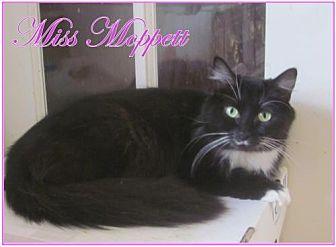 Domestic Longhair Cat for adoption in Culpeper, Virginia - Miss Moppett