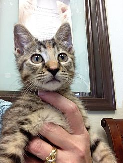 American Shorthair Cat for adoption in Navarre, Florida - Sophia
