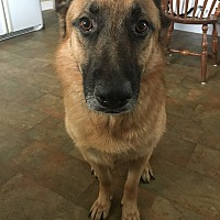German Shepherd Dog Dog for adoption in Manchester, New Hampshire - Luna