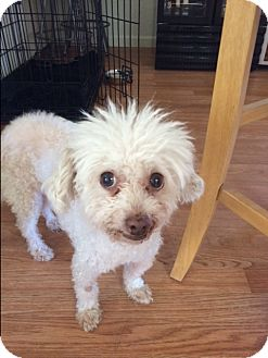 Poodle (Miniature) Mix Dog for adoption in Phoenix, Arizona - Lexi